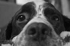 Millie (10 yrs), springer spaniel