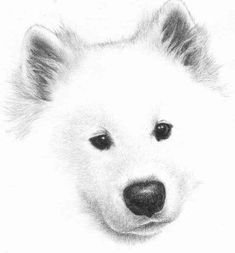 Samoyed Puppy Drawing By Scott Kennedy With Hand Colored