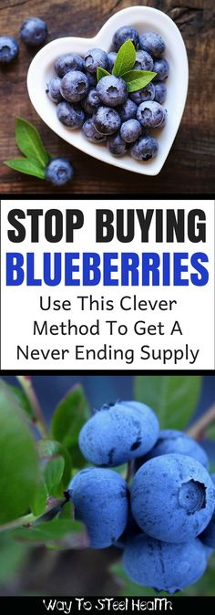Blueberries are popular little guys, and for good reason! They are a superfood BOMB when it comes to health benefits. Fruit Garden, Edible Garden, Gardening For Beginners, Gardening Tips, Pallet Gardening, Garden Pallet, Garden Compost, Growing Blueberries, Types Of Herbs