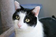 Casper-an-adoptable-cat-in-California
