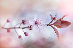 Spring Plum Blossom - null