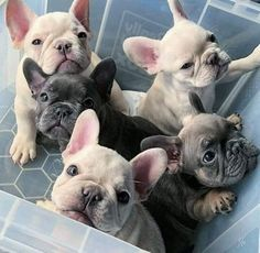 French Bulldog Full Grown, Blue French Bulldog Puppies, Bulldog Puppies For Sale, Cute French Bulldog, Cute Dogs And Puppies, Doggies, Teacup French Bulldogs, Chihuahua Dogs, Bulldog Breeds