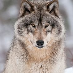 """beautiful-wildlife: """" Timber Wolf by Michael Cummings """" Wolf Photos, Wolf Pictures, Wolf Love, Beautiful Wolves, Animals Beautiful, Tier Wolf, Animals And Pets, Cute Animals, Wild Animals"""