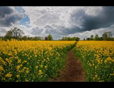 through the rapeseed