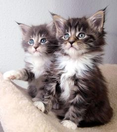 Spectacular Maine Coon babies, Chocolate Love and Winter Joy. Couldn't be cuter. Love that ear fluff!