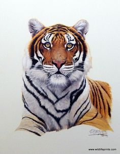 Derk Hansen's SIBERIAN HUNTER is a print of a Siberian Tiger that is so real it almost looks like a photograph. Siberian Tigers are the largest of the cat family, growing to as long as 11 feet and mal