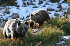 bears in Tatry Mountains