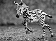 Adorable baby zebra
