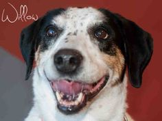 WILLOW...(gorgeous and friendly sweet senior) PITTSBURGH, PA...PetHarbor.com: Animal Shelter adopt a pet; dogs, cats, puppies, kittens! Humane Society, SPCA. Lost & Found.