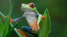 Image result for Red Eyed Tree Frogs and Poison Dart Frogs