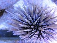 Mansfield Aquatics Coral frags, acans, scolymia, trachyphillia, Nottingham, Sheffield, Derby, at Aquarist Classifieds
