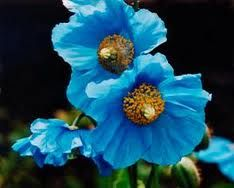 The Blue Himalayan Poppy...I must have this, even if I'm not in the right growing zone!