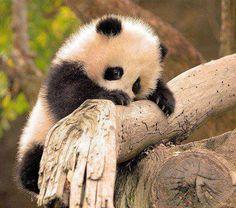 Cute baby panda climbing tree