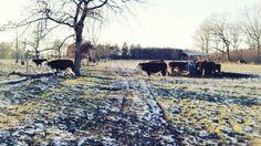 Koeien op de Friese Berg in Markelo.