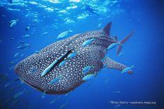 whale #shark