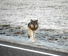 Photo of the Grand Canyon gray wolf spotted within the last couple of days. A long-distance traveler, for sure. The first time in 70 years that a wolf has been seen in the Grand Canyon area. Like Animals, Animals Of The World, Beautiful Wolves, Losing A Pet, The Victim, Animal Welfare, Animal Rights, Big Cats, Wander