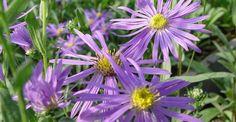 Aster amellus 'Sonora' op vasteplant.be   vlinder en bijenplant  hoogte : 50 cm  bladhoogte : 40 cm bloei : 8-10