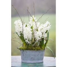 Hyacinth 'White Pearl' has beautiful green and white buds, with a few stems to every bulb.