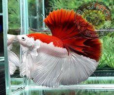 Pretty Fish, Cool Fish, Beautiful Fish, Animals Beautiful, Betta Fish Types, Betta Fish Tank, Beta Fish, Fish Tanks, Tropical Freshwater Fish