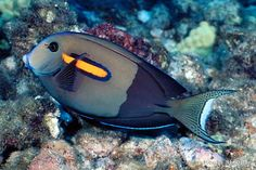 OrangeSpot Surgeon, Acanthurus olivaceus. One of my favorite fishes off the coast of Oahu's north shore.