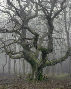 Oak in winter mist - Savernake Forest | image by Joseph Wright