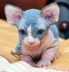I want a Sphynx kitty sooooooo bad! Kittens Cutest, Cats And Kittens, Cute Cats, Siamese Cats, Cute Baby Animals, Animals And Pets, Funny Animals, Funny Cats, Beautiful Cats