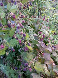 Plantas de tayberry. Necesitan un soporte en el que apoyarse