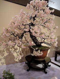 Kokufu-Beautiful Bonsai Tree by JSpyro. Bonsai Acer, Flowering Bonsai Tree, Japanese Bonsai Tree, Bonsai Plants, Bonsai Garden, Bonsai Trees, Wisteria Bonsai, Succulents Garden, Air Plants