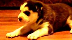 """https://www.youtube.com/watch?v=MIfP5R-v-_s""""6 Funny Puppies And 1 Adult Siberian Husky"""" - YouTube"""
