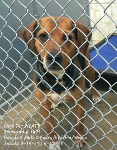 Animals are killed in Roswell, NM due to time not space. They are given 7 days, killed on the 8th day. WYATT ▪ 2-year-old ▪ Beagle X ▪ Male ▪ Black/Brown/White ▪ Intake 4-15-15 | Due Out 4-22-15 ▪ Cage #56 | Impound #1403They will not hesitate to kill him No. 575-624-6722 Roswell Animal Control 705 E. McGaffey, Roswell, NM 88201 ✔ LINK: https://m.facebook.com/photo.php?fbid=438276769673659&id=176246809209991&set=pb.176246809209991.-2207520000.1429609879.&source=42 ✔ MAIN PAGE LINK…