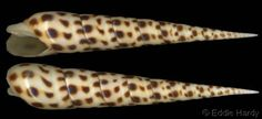 Oxymeris areolatus    (Link, H.F., 1807)	 Fly-spotted/Dark-spotted Auger	 Shell size 65 - 182 mm	 Red Sea - Durban, Rep. South Africa - Hawaii