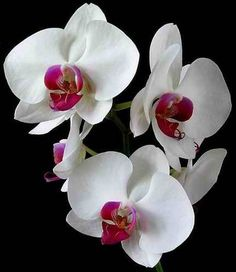 An orchid is classified as an angiosperm, or a flowering plant. Description from snowbio.wikispaces.com. I searched for this on bing.com/images