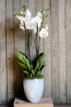 Orchid Growing Tips: How To Take Care Of Orchid Plants Indoors Orchids are some of the most commonly grown houseplants. With proper growing conditions, it isn?t difficult to take care of orchid plants. Read here to get some indoor orchid care tips. Indoor Orchid Care, Orchid Plant Care, Indoor Orchids, Indoor Flowers, Orchid Plants, Indoor Plants, Potted Plants, Taking Care Of Orchids, Orchid Pot