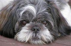 Every home needs a loyal dog, especially a Lhasa Apso.