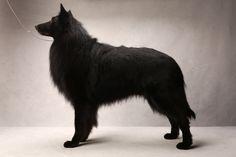 Tazer the Belgian Sheepdog