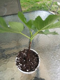 If you enjoy figs you might be wondering how to propagate fig trees as opposed to buying a replacement Fig propagation is an economical way to continue or increase produc. Growing Fruit Trees, Propagating Plants, Plants, Garden Trees, Fruit Garden, Trees To Plant, Farm Gardens, Growing Tree, Growing Plants