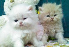 White persian kittens for sale in pretoria