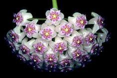 Asclepidaceae: Hoyas