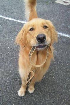 ready for a walk! #Golden #Retriever