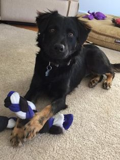Mika 3122Age: ~8 months  Sex/Altered: Female Spayed Weight: 25 lbs Breed: Spaniel Mix? Foster Home Location: PICKERING, ON Adoption Fee: $450.00 Temperament: Friendly, playful, loves to cuddle Activity/Energy Level: Medium/High Origin: Animal shelter- stray with Mom & litter mates.