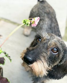 Dachshund Wirehaired Dachshund Gifts, Funny Dachshund, Mini Dachshund, Dachshunds, Puppy Dog Eyes, Dog Cat, Terriers, Scottish Terrier, Animals And Pets