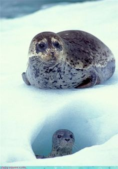 This mama seal is protecting her most precious buried treasure.