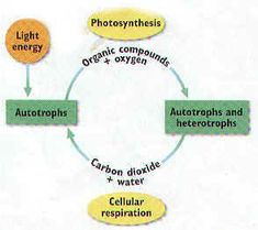 65 Best Cellular Respiration images