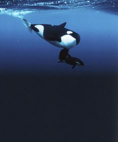 Beautiful Orcas