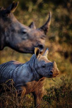 Amazing shot of rhino and calf.