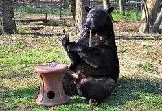 Noah's Ark Bears - Hershey is a male American black bear (Ursus americanus) born in 2008.