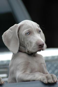 Weimaraner puppy...our dog of choice IF we were ever to get a dog. Unfortunately, leaving a dog alone all day is not a fair life for a dog. And, we don't have time to be constantly cleaning up after him...and we wouldn't want a yard full of poop. One pile of poop in the yard is too much.