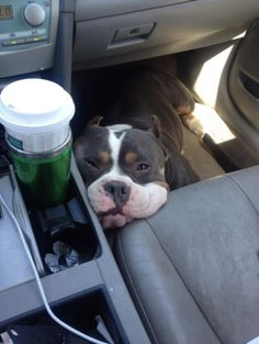 15 Super Squishable Pit Bulls Who Will Brighten Your Day