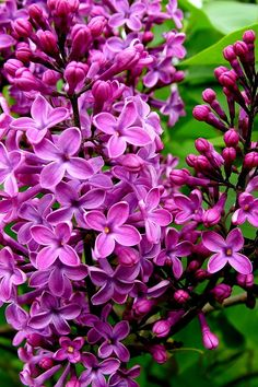 Download 640x960 «Lilac» Cell Phone Wallpaper. Category: Flowers