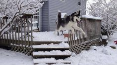Cool picture of Siberian Husky, Wesker, jumping off the deck into the snow.